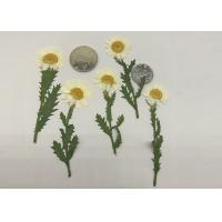 Fashion Dried Pressed Flowers White Chrysanthemum / Stem For Leaf Vein Bookmark for sale