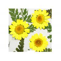 White Chrysanthemum Pressed Floral Art , Dried Flower Artwork For Teaching Specimen for sale