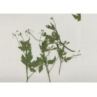 Green Pressed Flower Artwork , Decoration Pea Plant Drying And Pressing Flowers for sale