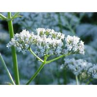 Buy cheap Valerian Root Extract,Valeriana officinalis Extract,Valerianic Acid 0.2%-0.8%,Chinese manufacturer, Shaanxi Yongyuan Bio product