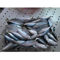 China Frozen WR Indian Mackerel Fish For Marketing with Good Quality. on sale