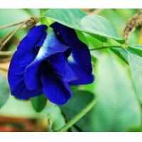 Buy cheap Butterfly pea Extract, Clitoria ternatea powder, Blue powder, Shaanxi Yongyuan Manufacture, high quality product