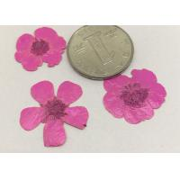 Buttercup Dried Pink Flowers , Small Pressed Flowers For Plant Teaching Specimen for sale