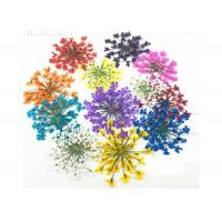 Mixed Color Minoan Lace Real Pressed Flowers Diameter 25MM For Crystal Epoxy Jewelry