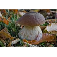 Buy cheap Boletus edulis, known as the Cep, Porcino or Penny-bun Bolete, is a most sought-after edible bolete. product