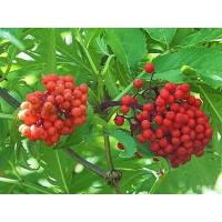 Buy cheap Elderberry Pure Extract 10:1; 20:1, antioxidant, anti-aging ingredient, supplement material, Shaanxi Yongyuan Bio-Tech product