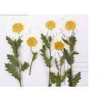 Buy cheap Nature DIY Pressed Flowers White Chrysanthemum On Stems For Holidays Cards product