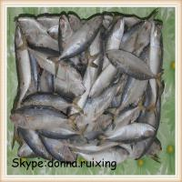 China frozen indian mackerel fish in good quality and good price on sale