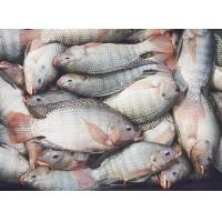 Buy cheap Faixa descascada rasa do tilapia product