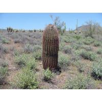 Buy cheap outdoor flowers and plants (Melocactus bulbs) product