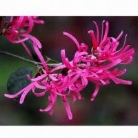 Buy cheap Witch Hazel Extract, Mainly Used for Medicine, Cosmetic, Food and Raw Materials product