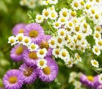 Buy cheap Hot Products Feverfew Herb Extract product