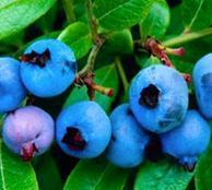 Buy cheap Standardized Extract Blueberry Fruit Extract from wholesalers