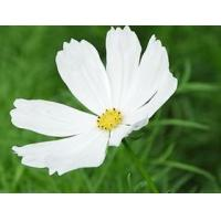 Buy cheap Feverfew extract product