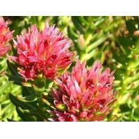 Buy cheap Rhodiola Rosea extract product