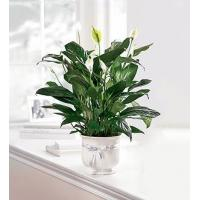 Buy cheap Sympathy Flowers The FTD Comfort Planter from wholesalers