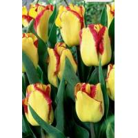 China Flowers Tulip, Cape Town wholesale