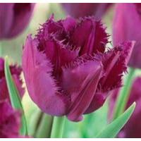 China Flowers Tulip, Curly Sue wholesale