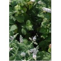 China Peppermint Extract, Wild Mint Herb Extract on sale