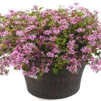 Buy cheap Pelargonium Pinki Pinks product