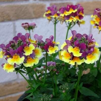 Quality Species Nemesia Aroma Rhubarb & Custard for sale