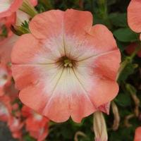 Buy cheap Petunia Happy Classic Orange Morn product