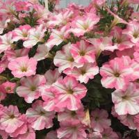 Buy cheap Petunia Happy Classic Baby Pink White product