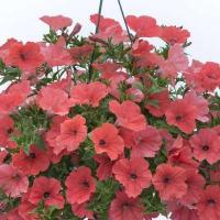 Buy cheap Petunia Designer Maui Sands product