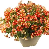 Buy cheap Petunia Happy Classic Yellow Orange Stripes product