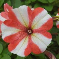 Buy cheap Petunia Happy Classic White Red Stripes product