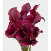 Buy cheap Calla Lily PURPLE 35 to 45cm (Naomi , Night Cup ,Captain Promise, Reno, Hot Cherry, Prado) product