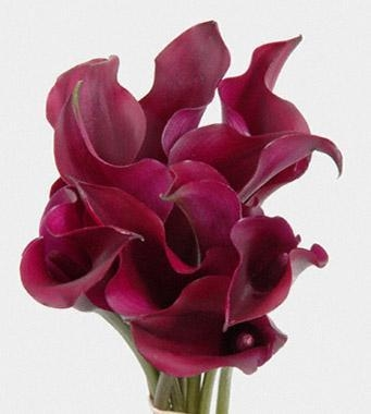 Quality Calla Lily PURPLE 35 to 45cm (Naomi , Night Cup ,Captain Promise, Reno, Hot Cherry, Prado) for sale