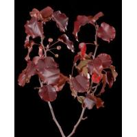 Buy cheap Peach Branch 3' - 4' Tall product