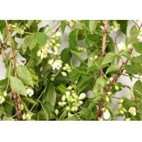 Buy cheap Mock Orange Bale product