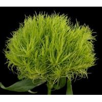 China Dianthus GREEN BALL 40 cm (10 stem bunch) (Pack 10) (Trixx , Wicki ) wholesale