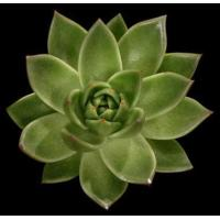 China Echiveria 10cm Green (Agavoides) By The Blooms (Pack 15) wholesale