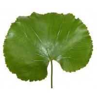 China Galax Leaves (Super 5 inch Leaves) wholesale