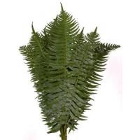 China FOREST FERN (AFRICAN SWORD FERN) wholesale