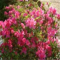 Buy cheap Anti-Oxidant Rhododendron extract Model: J1089 product