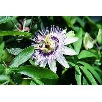Buy cheap Woman's Healthy Passion Flower Extract Model: F1028 from wholesalers